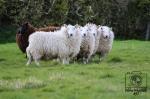 A black sheep beside more white sheep