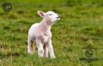 A lamb in a field curling its lips