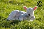 A farming photograph fo a lamb sleeping in a field
