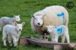 Sheep feeding at a trough
