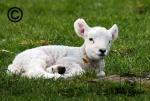 A Texel lamb smiling