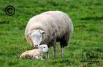 A Texel Ewe licking her newborn lamb