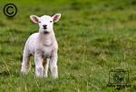 A Texel lamb in a field